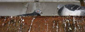 Loved or loathed, feral pigeons as subjects in ecological and social research