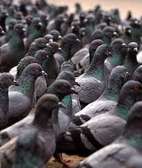 Pigeon power: Study suggests similarity between how pigeons learn the equivalent of words and the way children do