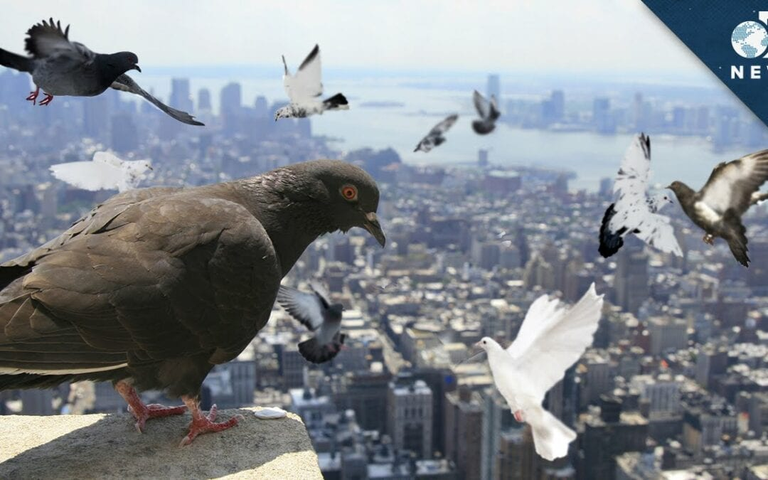Pigeons identify individual humans but show no sign of recognizing them in photographs