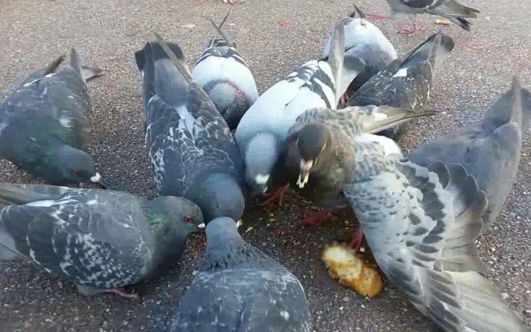 Pigeon Poop Causes 60 Diseases