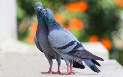 Birmingham pigeon fanciers inspire play