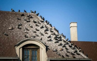 Why You Should Never Feed Pigeons Around Your Home or in the City