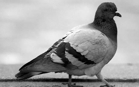 Pigeon control and removal