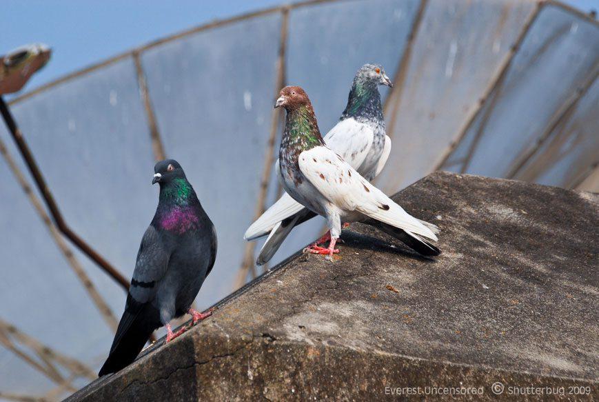 Ten Astounding Pigeon Fact